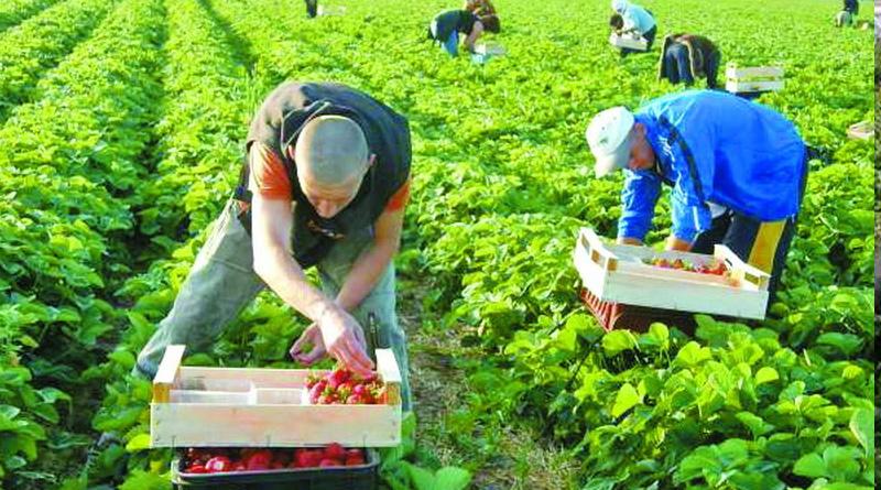 """""""Додому на заробітки"""": поляки вирощуватимуть полуницю в Рівному"""